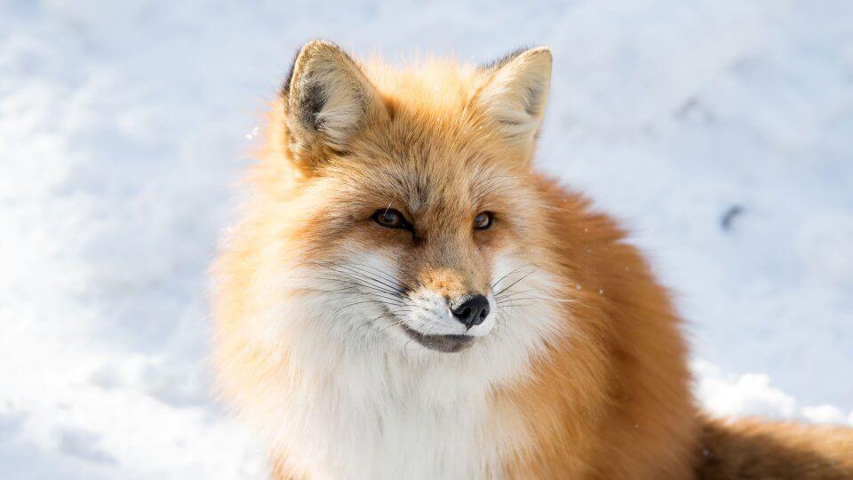 【モフモフ神】宮城蔵王キツネ村に行ったらキツネたちが冬毛でモフみ高くて天国だった