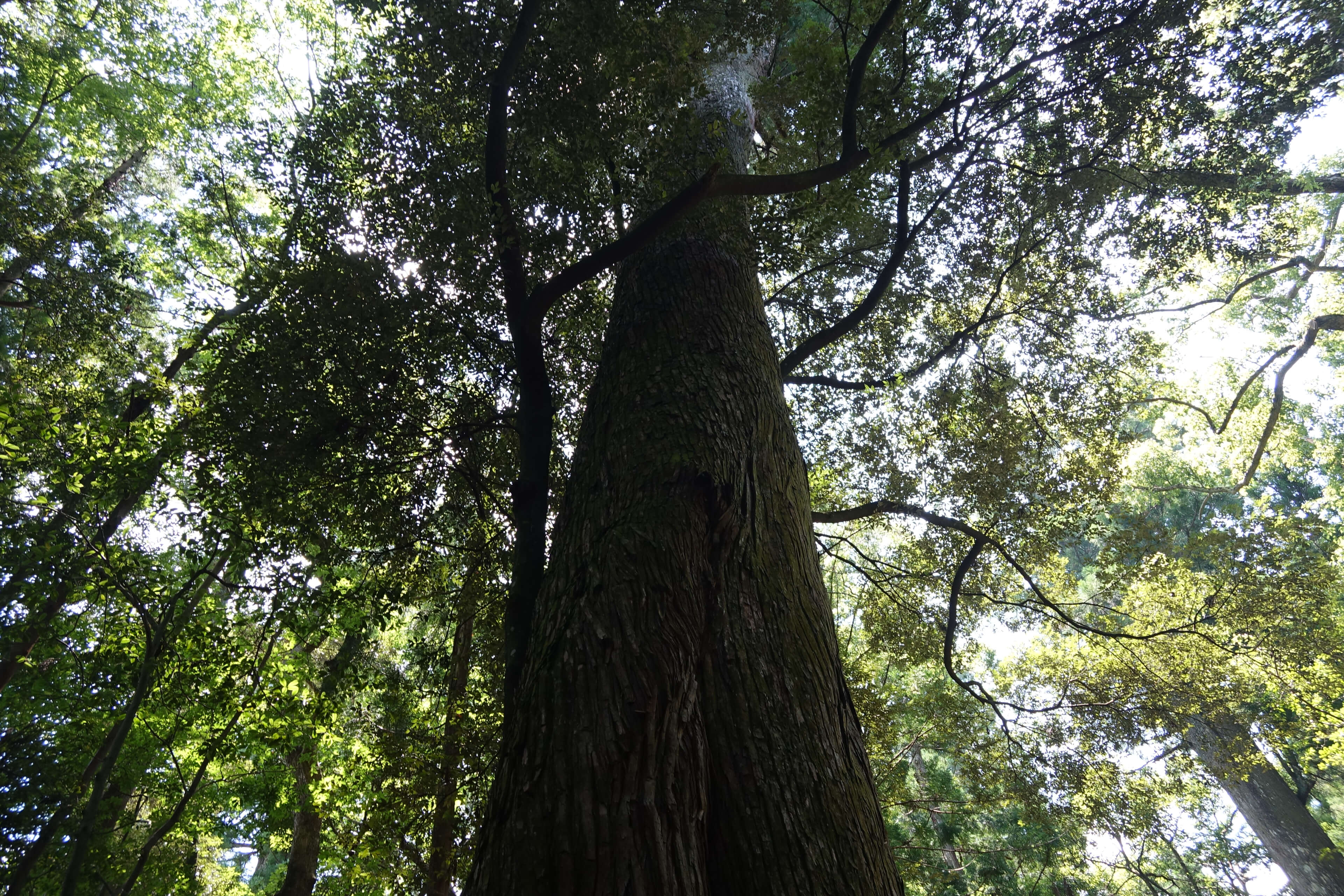 SONY RX0 レビュー 作例 大木をあおる